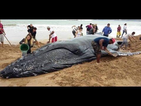 Glück gehabt: Wal in Brasilien gestrandet - und gerettet