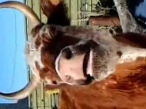 Корова жует