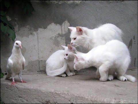 Kucing Yang Menyambar Pantas Burung Merpati