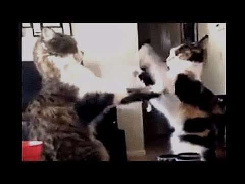EPIC Cat Fight Slow Paws