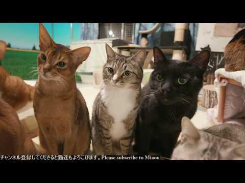 2018.2.1 チュール 猫部屋ライブ映像   Cats & Kittens room 【Miaou みゃう】