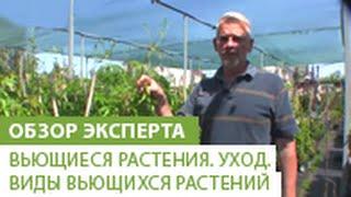 Вьющиеся растения. Уход. Виды вьющихся растений(Вьющиеся растения всегда пользовались заслуженной популярностью у дачников и ландшафтных дизайнеров,..., 2014-05-27T17:42:42.000Z)