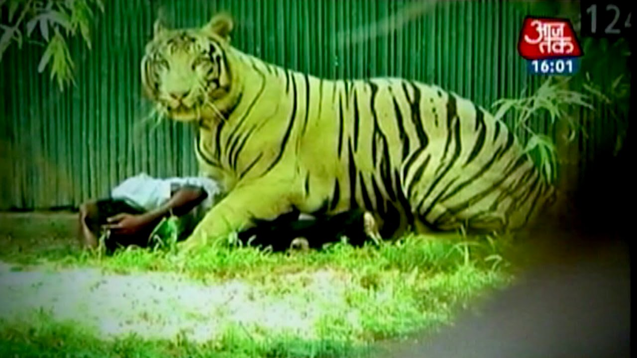 white tiger kills youth in delhi zoo youtube