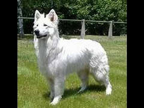 Berger blanc suisse - YouTube