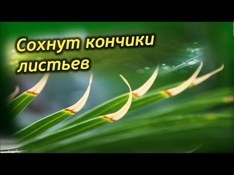 Сохнут кончики листьев у комнатных растений. Почему? Что делать?