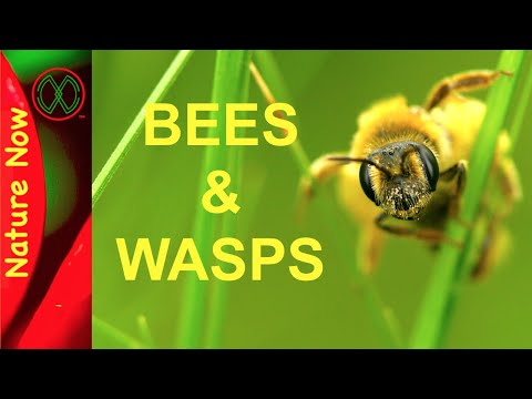 differences-of-bees-and-wasps---why-i-love-them!