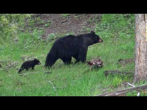 Black bear with 3 cubs in Yellowstone