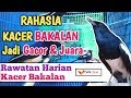 Rawatan Harian Kacer Bakalan Agar Gacor Dan Bermental Juara  Mp3 - Mp4 Download