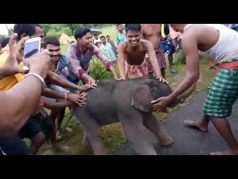 Wild Elephant cube caught by villegers at saraikela district