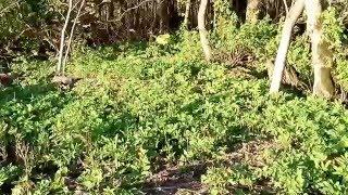 видео Трава сныть. Пищевая и лекарственная ценность