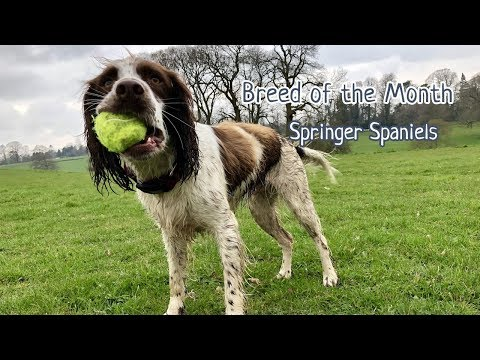 July Breed of the month - Springer Spaniels