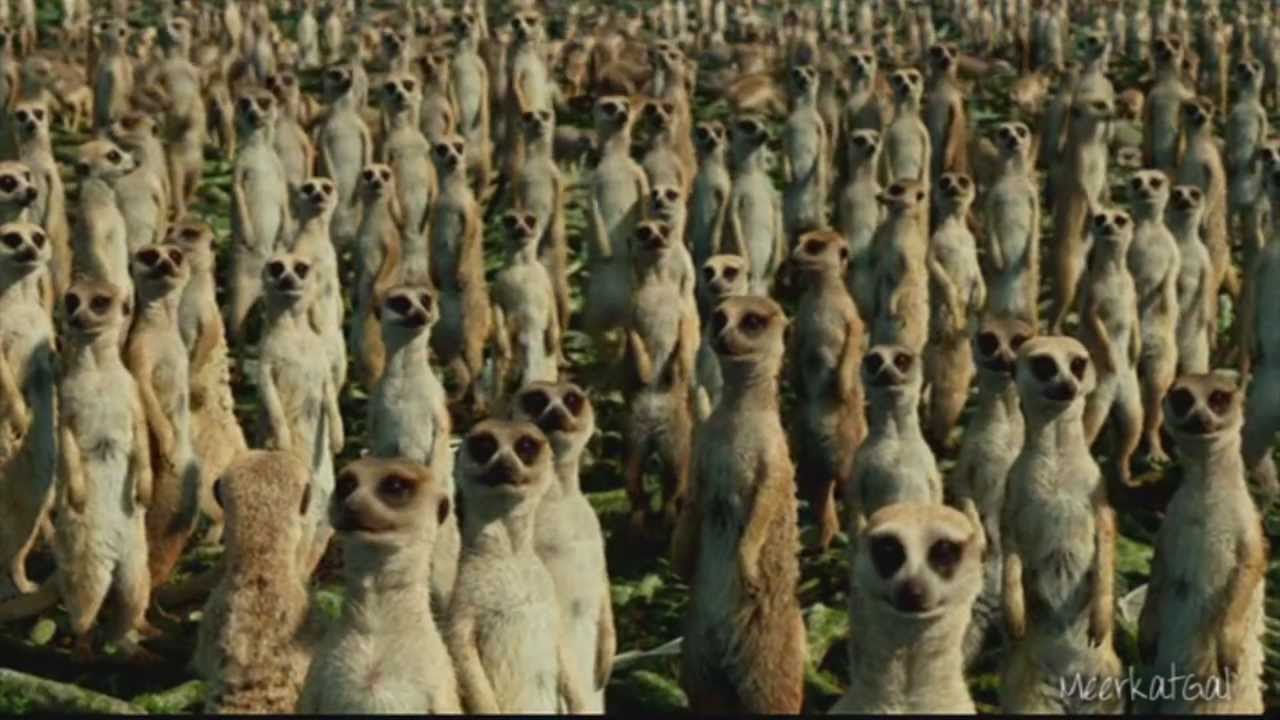 Image result for multi meercats alert