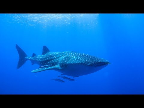 Swimming with the BIGGEST fish in the world!!!  Sailing Vessel Delos Ep. 131