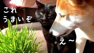 一仕事の後、草を堪能する猫 Cat eats cat grass