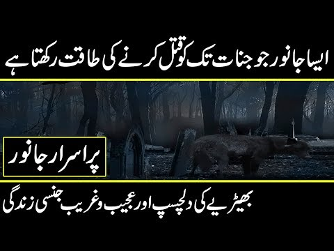 interesting facts about wolvies life documentary in urdu hindi || urdu discovery documentaries