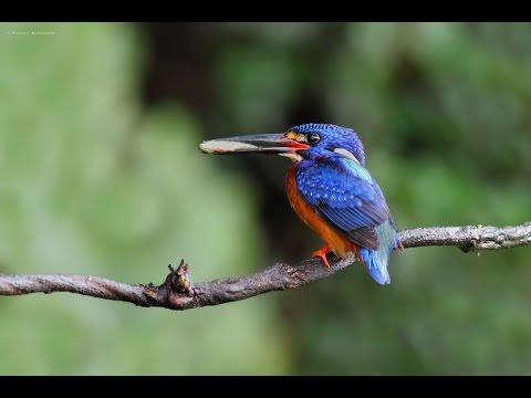 Blue-eared Kingfisher(Male) - นกกระเต็นน้อยหลังสีน้ำเงิน(เพศผู้)