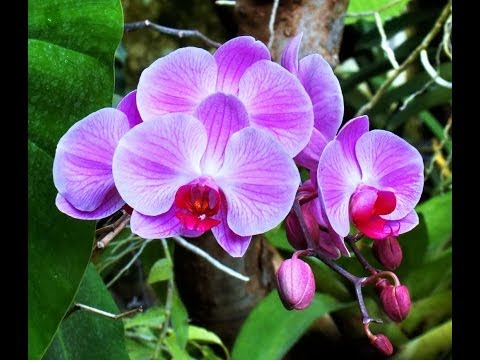 Bộ sưu tập hoa vải Lan hồ điệp đẹp tuyệt vời
