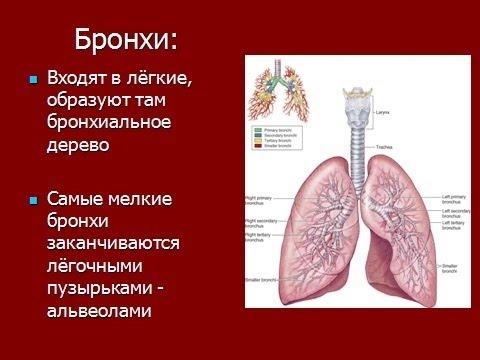 человека и органы дыхания