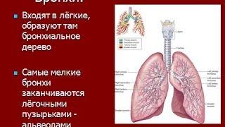Дыхательная система человека и органы дыхания