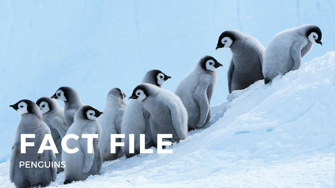 Facts about Penguins - YouTube
