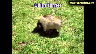 Cairn Terrier, Puppies, For, Sale, In, South Bend, Indiana, County, In, Allen, Hamilton, St  Joseph,