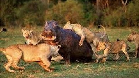Lions Vs Hippos (Documentary)(Turf Wars)