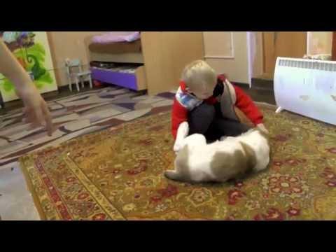 Среднеазиатская овчарка или алабай – описание породы