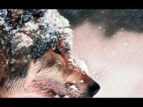 Волки. Реальная история противостояния волка и человека.