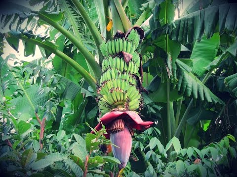 Cómo Sembrar Banano con buenas Prácticas Agrícolas - TvAgro por Juan Gonzalo Angel