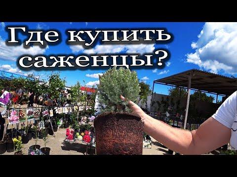Где купить саженцы в закрытой корневой системе?! #Варениковская