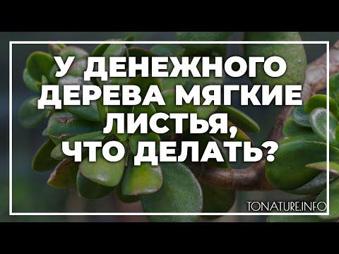 У денежного дерева мягкие листья, что делать? | toNature.Info