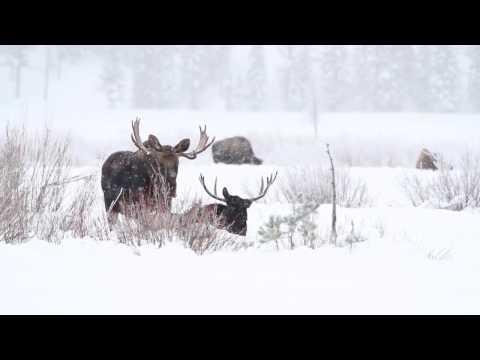 Yellowstone Moose in Winter