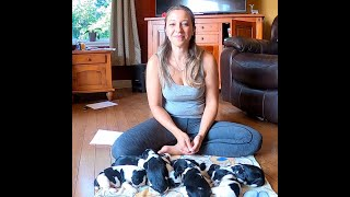 Update on Sophie and Angus' puppies  2 week old English Springer Spaniel