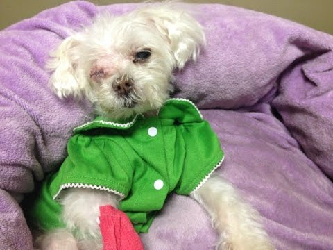 Blind, neglected Maltese strives in rescue with her Muffin's Halo. Cotton's story so far.