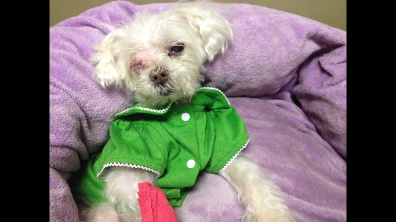 Blind Neglected Maltese Strives In Rescue With Her Muffin