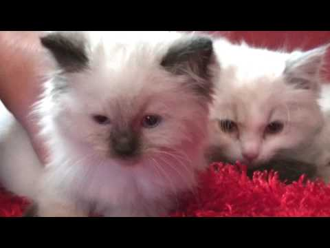 Blues, Seals, Bi-colors, Lynx  Ragdoll Kittens Ellie March 22 2017- A Ragdoll To Love Cattery