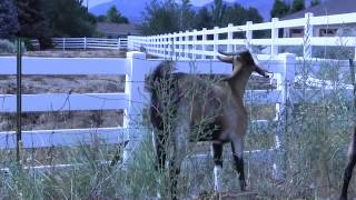 Goat Grazing: Behind-the-scene Bloopers