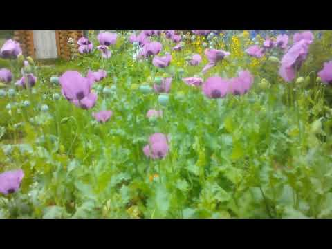 Шмели, пчелы и осы опыляют цветы