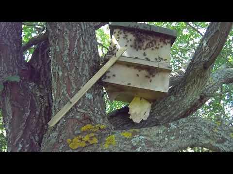 Вторая ловушка с роем пчел