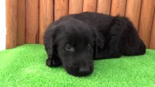 AngelWan フラットコーテッドレトリバーの子犬情報 → http://www.angelw...