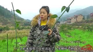 农村姑娘跟伯母去收割钩藤,分工合作效率高,收钩藤连豆杆也得了