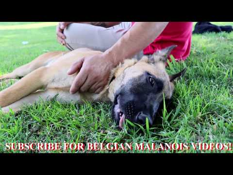 Belgian Malinois Puppy's First Day at the Park!
