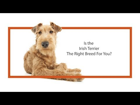 Learn all about the Irish Terrier and why they could be your perfect pet!