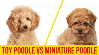 Toy Poodle vs Miniature Poodle 7 Major Difference You Didn't Know