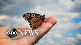 Monarch butterflies at critically low level
