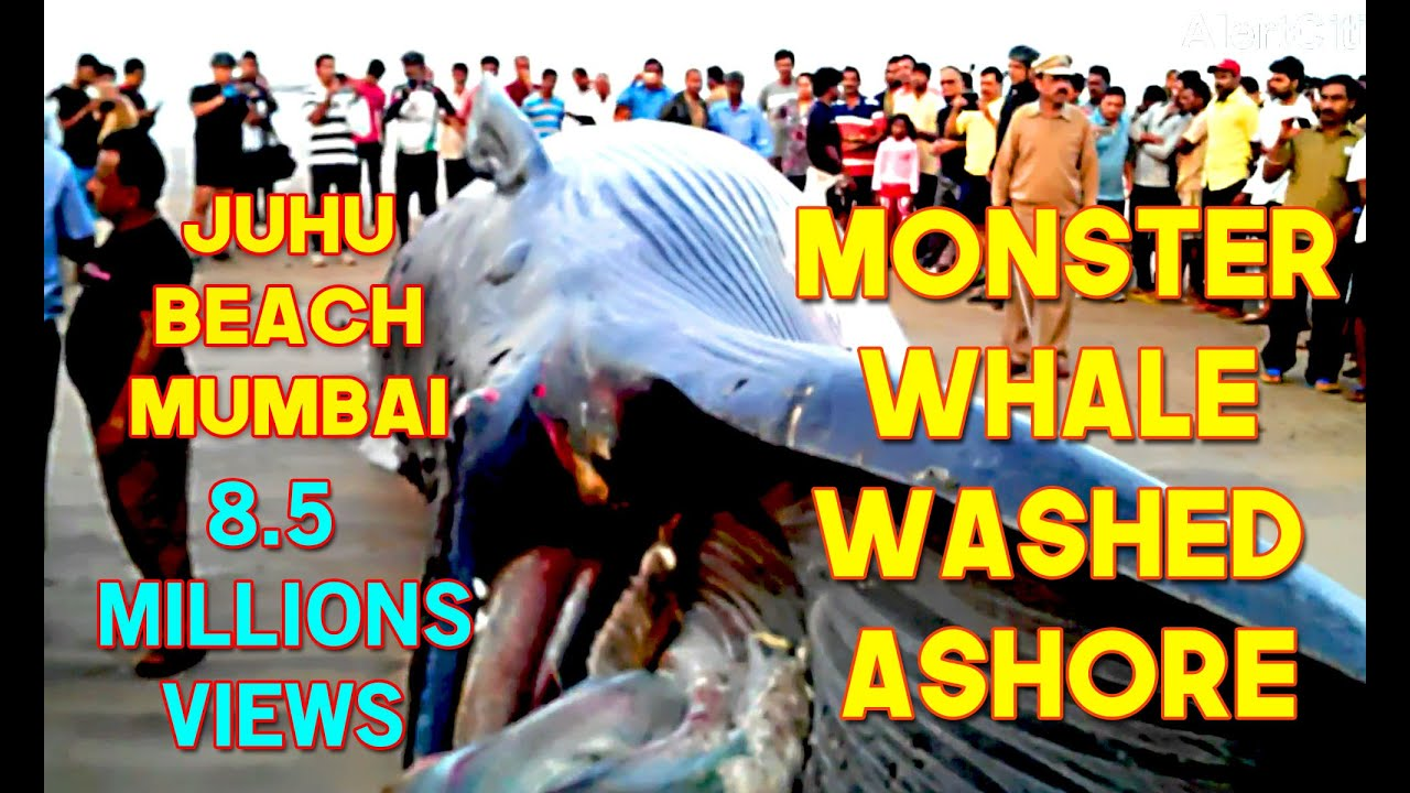 29th jan 16 monster whale fish washed ashore at juhu beach mumbai 29th jan 16 monster whale fish washed ashore at juhu beach mumbai near j w marriott hotel youtube thecheapjerseys Choice Image