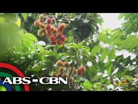 Salamat Dok: Rambutan | Cure mula sa Nature