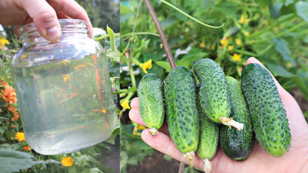 Дедушка разводил сахар и поливал огурцы в июле-августе. Соседские грядки уже желтые а наши зеленые!
