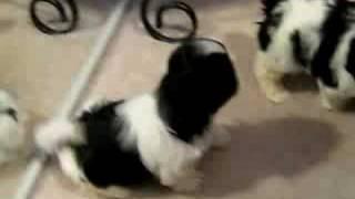 Shih Tzu Puppies Barking And Playing..