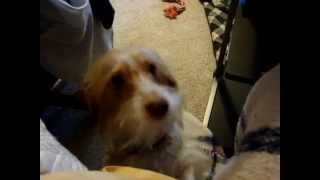 Wirehaired Dachshund Whining To Be Held, Pawing The Air